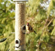 19th Feb 2018 - Another Goldfinch Shot