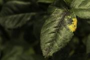 19th Feb 2018 - Rusty Rose Leaf