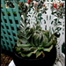 My flowering Succulent by 777margo