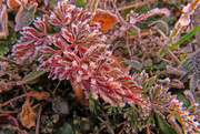 19th Feb 2018 - Red Leaves - White Frost - Good Combination