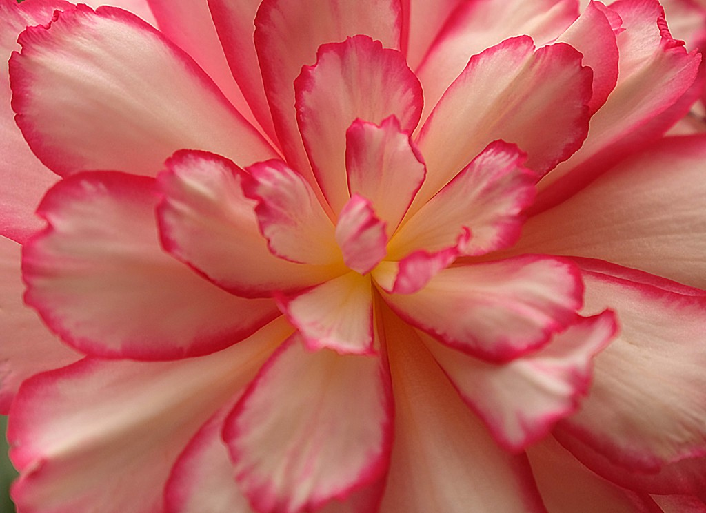 Begonia by maureenpp