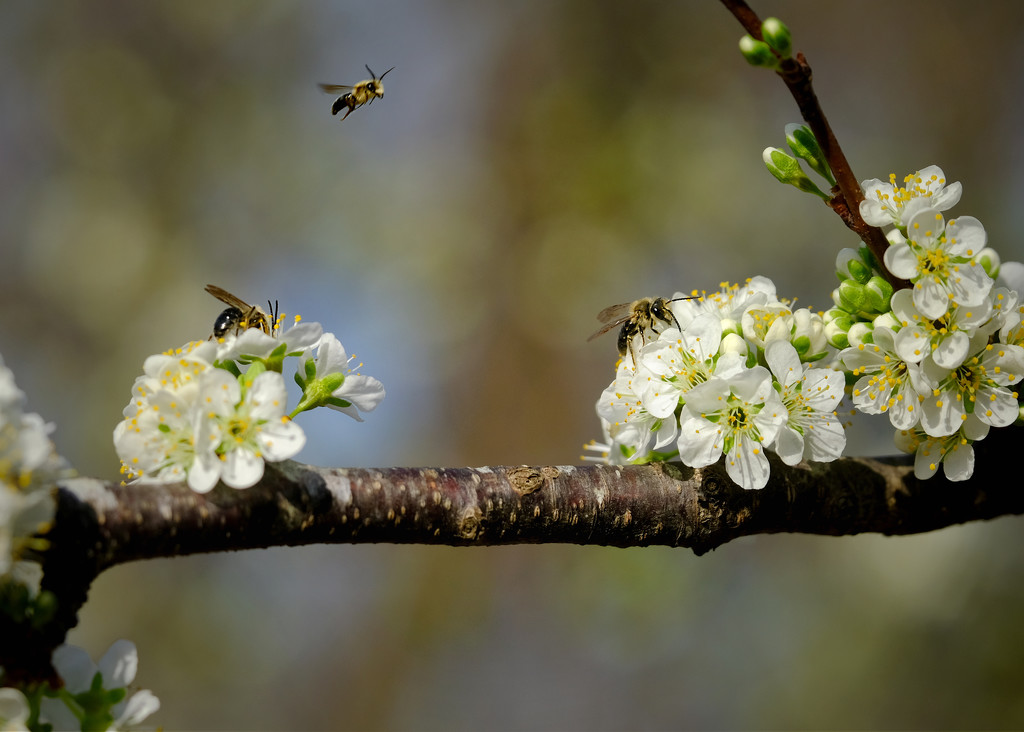 Bees in the plum tree by pamgleason