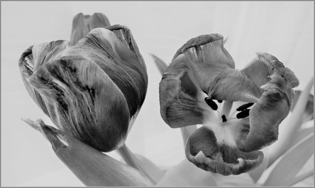 tulips- B/W by beryl