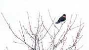20th Feb 2018 - Red-Winged Blackbird Wide