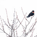 Red-Winged Blackbird Wide