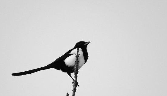 One for sorrow... by m2016