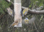 20th Feb 2018 - Three Greenfinches and a Brave Bluetit