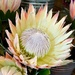 A King Protea ..... by ludwigsdiana