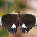Papilio Aegeus, the Orchard Swallowtail Butterfly