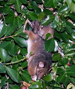 21st Feb 2018 - Mother and Baby Ringtail Possums