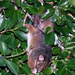 Mother and Baby Ringtail Possums