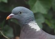 21st Feb 2018 - Pigeon