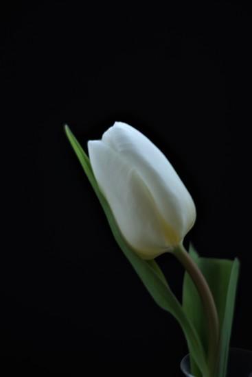 Spring Tulip by 30pics4jackiesdiamond