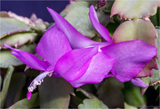 21st Feb 2018 - Purple Christmas Cactus