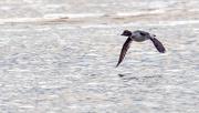 21st Feb 2018 - Goldeneye Low Water Flight