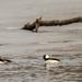 Bufflehead Ducks Under Branch on Ice