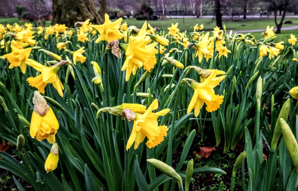 First daffodils by boxplayer