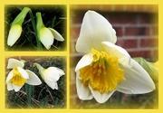21st Feb 2018 - My daffodils