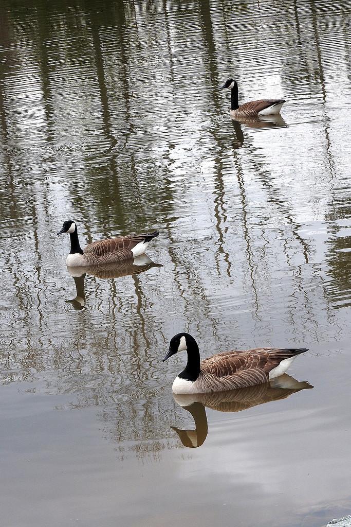Three geese by homeschoolmom