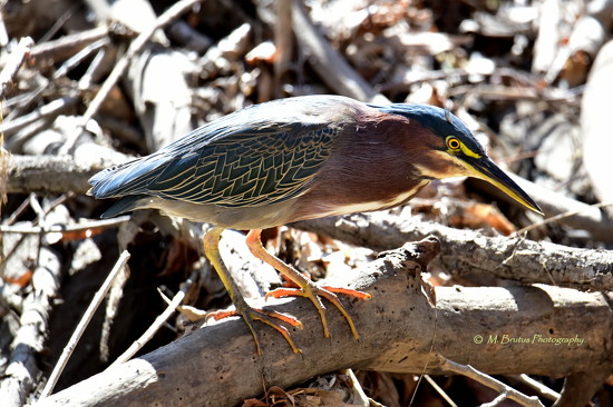 Green Heron by mbrutus