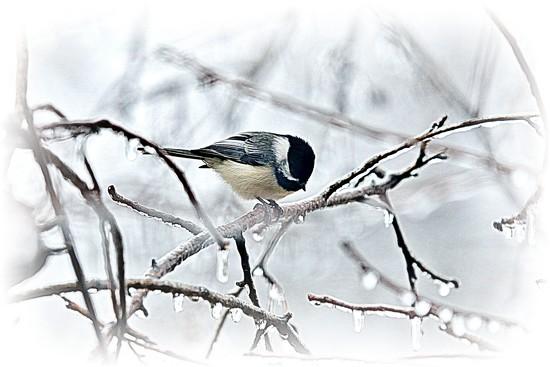 Cold Bird by lynnz