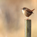 Wren-bird on a post by padlock