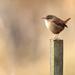 Wren-bird on a post