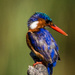 Melachite kingfisher by mv_wolfie