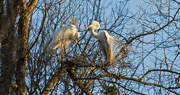 22nd Feb 2018 - Egrets on the Prowl!