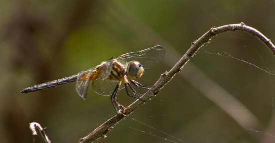 My First Dragonfly of the Season! by rickster549