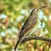 Female Sunbird  .  . . .