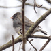 Dark-eyed Junco Arching Landscape