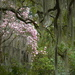 Japanese magnolia and Spanish moss by congaree