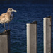 The Brown Gull with no friends