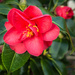 Red Camelia by dorsethelen
