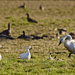 Tundra Swan, Snow Geese and Friends