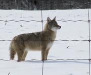 23rd Feb 2018 - Coyote