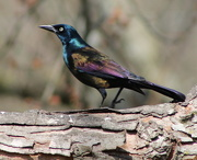 23rd Feb 2018 - Grackle