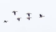 23rd Feb 2018 - Skein of Geese