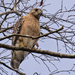 Red Shouldered Hawk Keeping an Eye on Things!