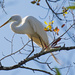 Egret Gathering Twigs From the Trees!