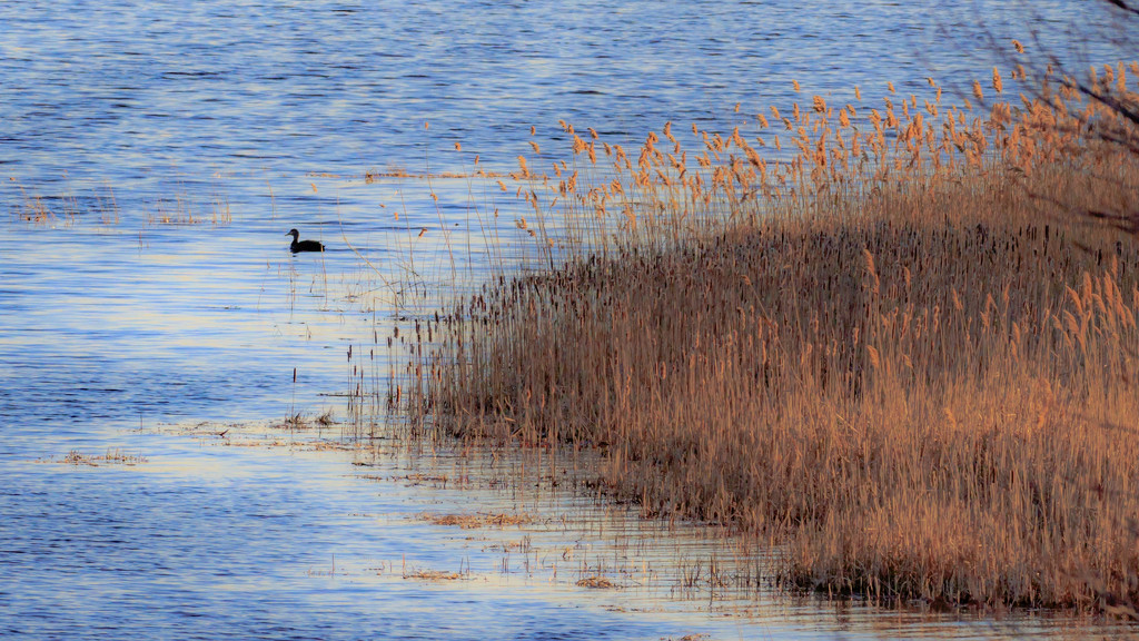 duck in marsh by jernst1779