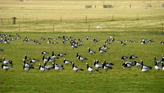 geese  by gijsje