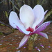Tulip Magnolia in bloom