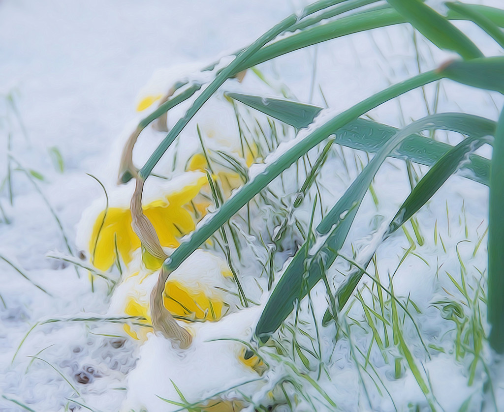 Poor Daffodils In The Snow  by joysfocus