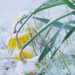 Poor Daffodils In The Snow