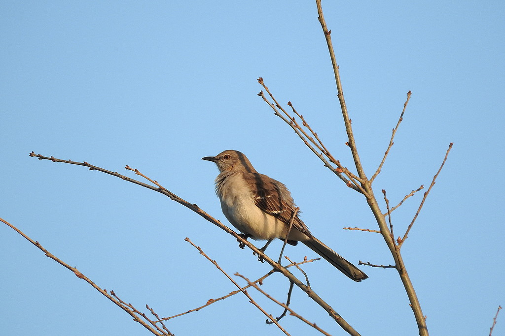 Mockingbird in a tree by homeschoolmom