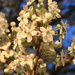 Bradford Pear in bloom by homeschoolmom