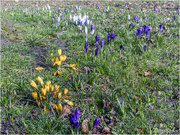 24th Feb 2018 - Wild Spring Crocuses