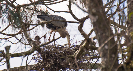 Blue Heron Checking the Nest by rickster549